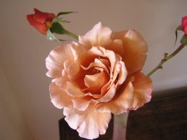 Apricot Rose 2 by stock-kitty