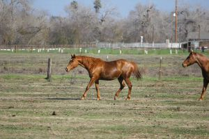 Chestnut Thoroughbred Mare at liberty in pasture by HorseStockPhotos
