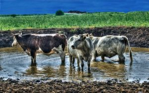 Cow in the mud by haimohayon