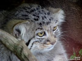 Manul Manny by Allerlei