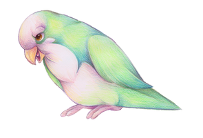 Quaker Parrot by bawky
