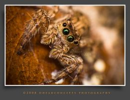 Jumping Spider by dhead