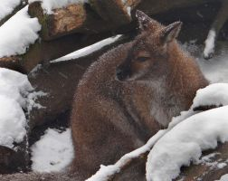 Wallaby in the snow by KayTeez