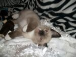 Snoozing Shoes Siamese Kitty by bluebellangel19smj