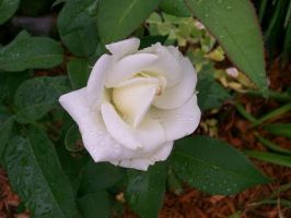 White Rose. 2 by BloodStainedSharpie