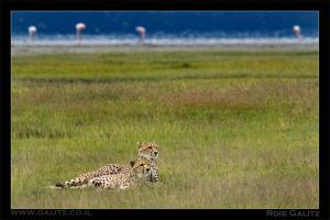 Cheeta Brothers by RoieG