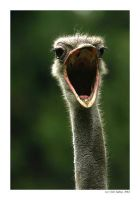 Yawning ostrich by Ciril