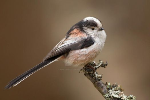 Fluff ball  - Long-tailed tit by Jamie-MacArthur