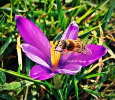 Crocus sativus by KayaKaliD