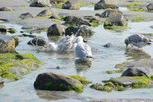 Seagulls, Salt Water Bath 51 by Miss-Tbones