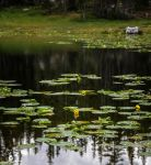 The Single Lily by mjohanson