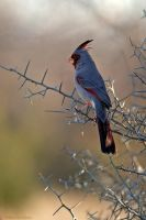 Pyrrhuloxia 2 by robbobert
