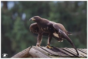 2012-25 Golden Eagle by W0LLE