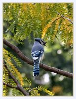 Big Mouth Blue Jay by Justaminute