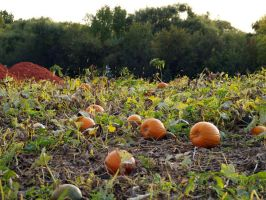 Where's the Great Pumpkin? by SolStock