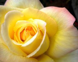 Yellow Pink Tipped Rose by kpep