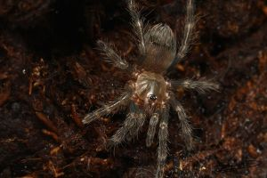 Mexican Red Rump Tarantula Spiderling :: by ForsakenRaptor