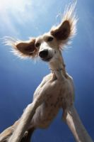 Hello I am a Saluki... by Alyat