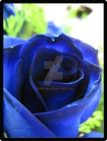 Blue Rose 1 by Freetha