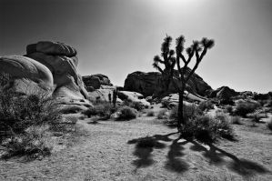 Joshua Tree BW by guidoanselmi