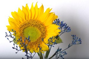 Sunflower and its contrat by el-Gandalf