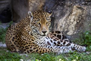 Daddy Jag by DGPhotographyjax