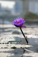 The Lone Lily by Kaayto