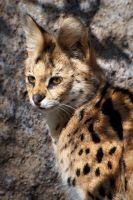 Serval Portrait by DeniseSoden