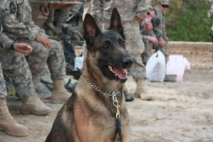 Army K9 by AurelTristen