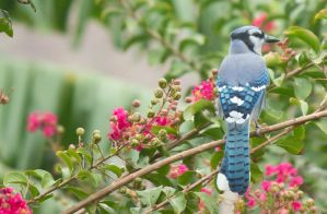 BlueJay in the Crepe Myrtles by RickDunlap2