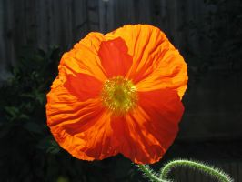 iceland poppy by CosmicKat