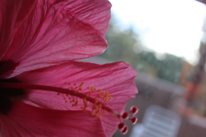 Hibiscus by LunarLuminosity