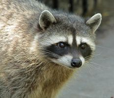 Racoon by rmbastey
