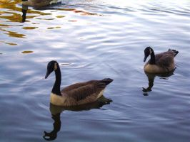 Two Geese Float by SenbonGirl7