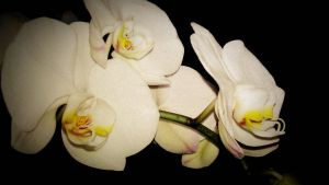 White Orchids by SuspiciousSpoon