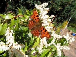 The Comma by AndyRidae
