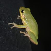 Green Tree Frog 2 by SalsolaStock