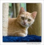 Ginger Rescue Cat by substar