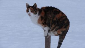 Calico Female Sitting on a Pole by Horselover60-Stock