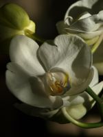 White Moth Orchid 01 by botanystock
