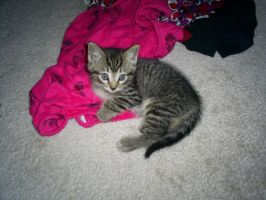 Shanny as a 6 week old Kitten by WingDiamond