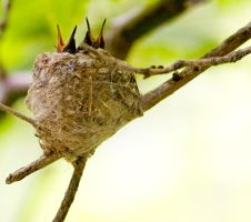 baby hummingbirds by krnc