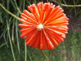 Red Hot Poker Shot by Natashaaaaa