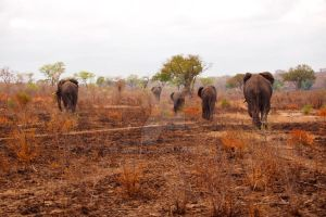 Elephants Walking Away by omegajjj