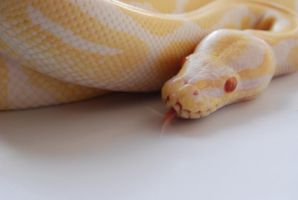 Albino Ball Python 3 by FearBeforeValor