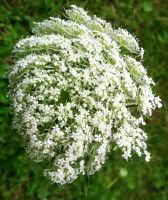 Queen Anne's Lace by Phaedris