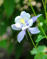 Blue Bloom Columbine by TheSleepyRabbit