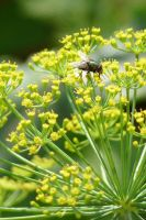 Fly on a dill by Kopczynski-Adam