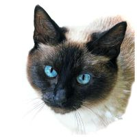 Siamese Please by TeaPhotography