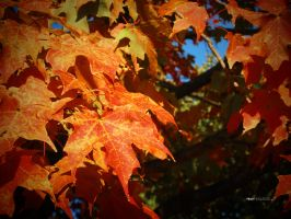 Red Maple Leaves by thenonhacker